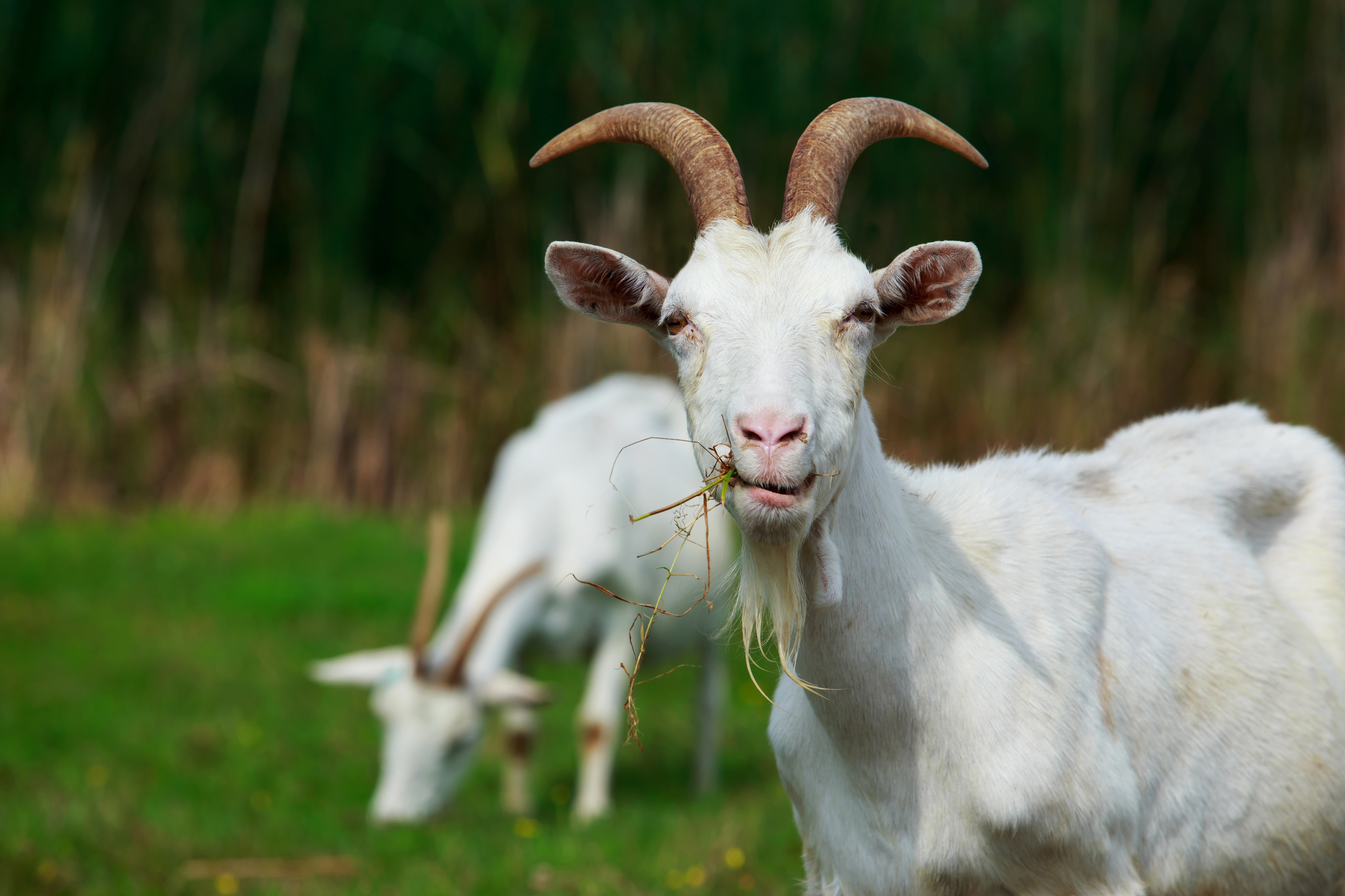 Environmentally Friendly and Adorable: Landscaping with Goats